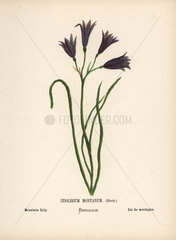 Mountain lily  Ixiolirium montanum