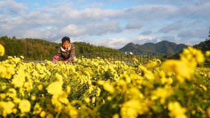 CHINA-JIANGXI-WUYUAN-CHRYSANTHEMUM-PRODUCTION (CN)