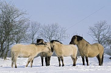 Konik - Hengst  Stuten und Fohlen im Winter