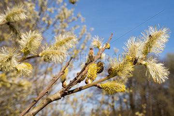Brandenburg  Deutschland  bluehende Weiden mit Honigbienen