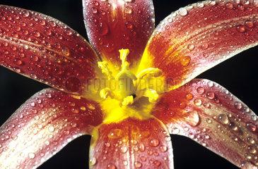 Tulpenbluete  Tulpe  Tulpen  Tulipa