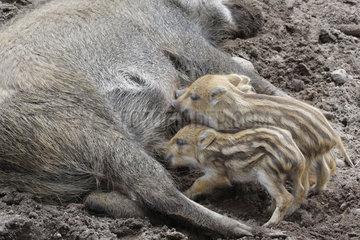 Bache und Wildschweine