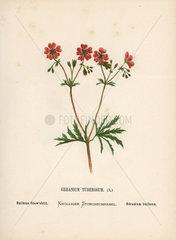 Bulbous craw's bill  Geranium tuberosum