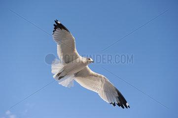 Gull flying in blue sky