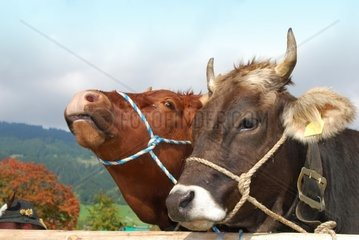 two bavarian bronw cows onthe cattle market