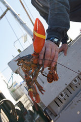 Fisherman showing freshly caught lobster