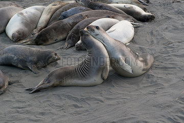 Seals mating or fighting on beach