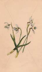 Snowdrop  Galanthus nivalis