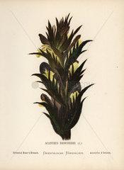 Oriental bear's breach  Aganthus dioscoridis