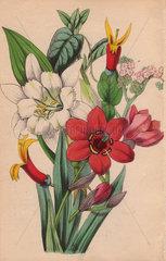 Streptanthera  tournefortia  siphocampylos and ismene