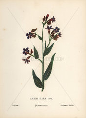 Bugloss  Anchusa italica