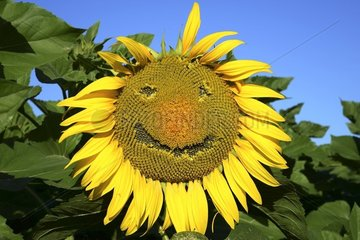 lustige Sonnenblume