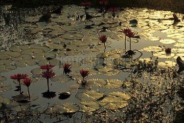 Thailand Sukhotai Lotusteich
