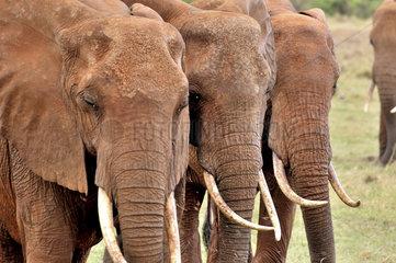 drei Elefantenkoepfe und ihre Stosszaehne