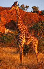 Rotes Abendlicht auf Giraffe  Suedafrika  Mapungubwe-Nationalpark; red evening light on giraffe in south africa  Mapungubwe National Park