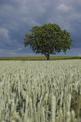 Einzelner Laubbaum in einem Getreidefeld bei Gewitterstimmung
