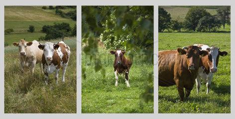 Collage aus drei verschiedenen Bildern mit Kuehen