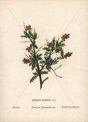Burnet  Poterium spinosum