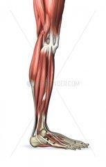 Querschnitt Bein rechts Seite