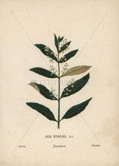 Olive  Olea europaea