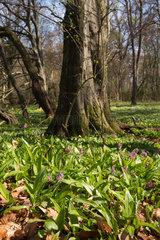 Brandenburg  Deutschland  eine Wiese mit Baerlauch im Wald