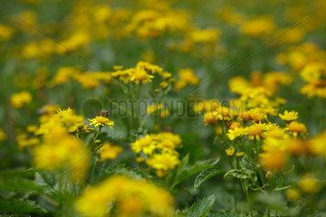 Schwangau  Deutschland  Blumenwiese mit Insekten