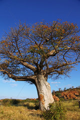 Affenbrotbaum  Mapungubwe-Nationalpark  Suedafrika  monkey-bread tree  Mapungubwe National Park  South Africa  Adansonia digitata