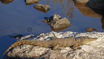 Nilkrokodil im Kruger Nationalpark  Suedafrika; crocodile in Kruger National Park  South Africa  Crocodylus niloticus