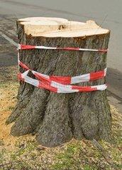 Stumpf und Wurzelstock eines gefaellten Baumes