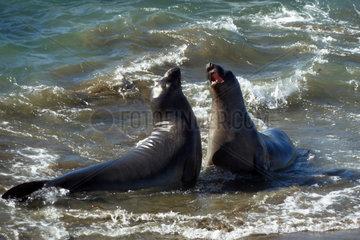 San Simeon  USA  Seeloewen balgen am Strand