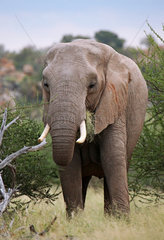Elefant im Mapungubwe-Nationalpark Suedafrika; african elephant south africa  wildlife