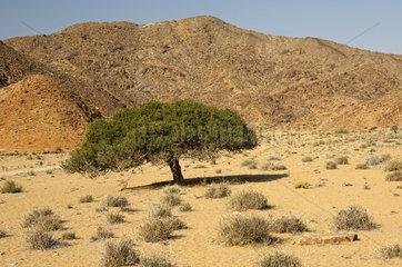 Hirtenbaum  Richtersveld-Nationalpark