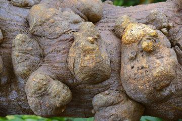 chrakteristische Beulen am Stamm des Mexikanischen Korallenbaum