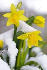Verschneite Alpenveilchen-Narzissen Narcissus cyclamineus tete a tete   Schnee im Fruehling