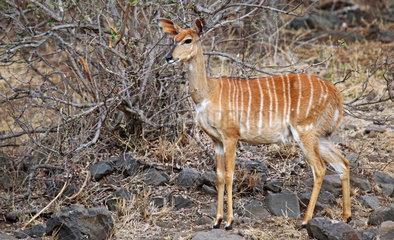 Weiblicher Nyala  Kruger Nationalpark  Suedafrica; female Nyala  south africa  wildlife  Tragelaphus angasi