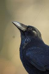 interessiert... Rabenkraehe *Corvus corone*
