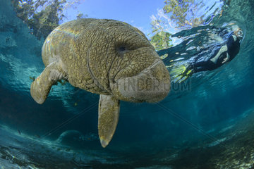 Trichechus manatus latirostris  Florida Seekuh und Taucher  West Indian manatee and scuba diver  Three Sisters  Florida  USA