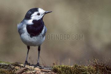Bachstelze weibchlicher Altvogel im Brutkleid auf einem Ast / White Wagtail adult female in breeding plumage on a branch - (Wagtail) / Motacilla alba