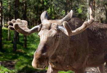Ed  Schweden  Kopfportraet von einem Elch auf der Elchfarm Dalslands Moose Ranch