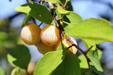 Mirabelle Prunus domestica subsp. syriaca