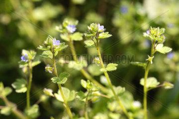 Efeu-Ehrenpreis  Veronica hederifolia