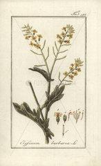 Bittercress from Zorn's Icones Plantarum Medicinalium  Amsterdam  1796.