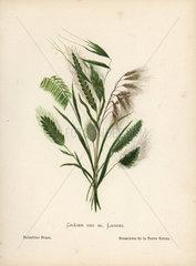 Palestine grass