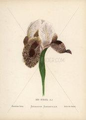 Persian iris  Iris susiana
