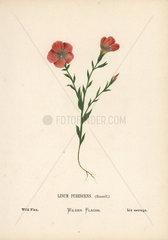 Wild flax  Linum pubescens