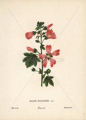 Mallow  Malope malacoides