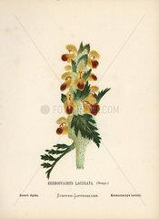 Desert spike  Eremostachys laciniata