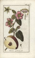 Quince from Zorn's Icones Plantarum Medicinalium  Amsterdam  1796.