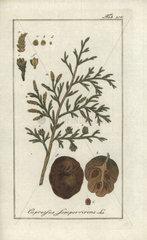 Mediterranean cypress from Zorn's Icones Plantarum Medicinalium  Amsterdam  1796.