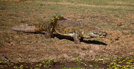 Nilkrokodil im South Luangwa Nationalpark  Sambia; crocodile in Zambia  Crocodylus niloticus